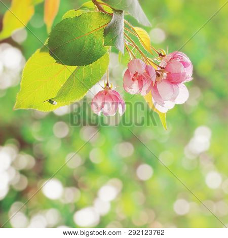 Spring Blossom Background. Beautiful Floral Nature Summer Scene With Blooming Tree And Sun Flare. Fr