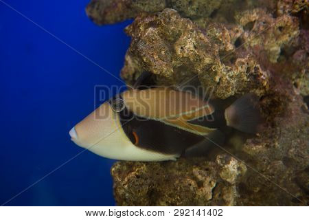 Lagoon Triggerfish Rhinecanthus Aculeatus , Also Known As The Picasso Triggerfish.
