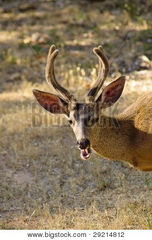 closeup of blacktailed deer with it's mouth opening chewing