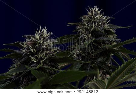 Weed Buds Flower On Dark Background With Resin