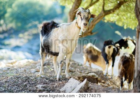 Herd Of Goats Grazing By The Road In Peloponnese, Greece. Domestic Goats, Highly Prized For Their Me