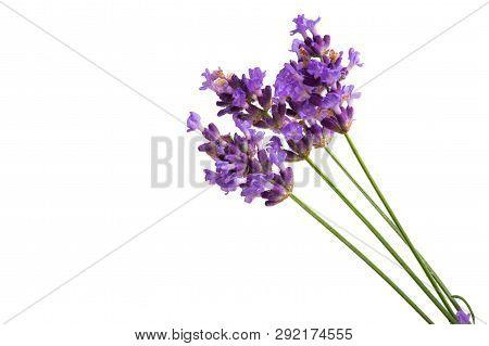 Lavender  Blue Flower  Isolated On White Background