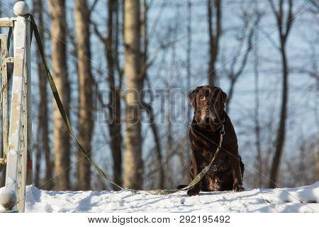 Beautiful Chocolate Labrador Retriever Posing Outside At Winter. Labrador In The Snow.
