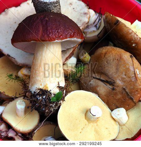 White Mushrooms Close Up. Bolete, Boletus, Cep, Cepe Porcini