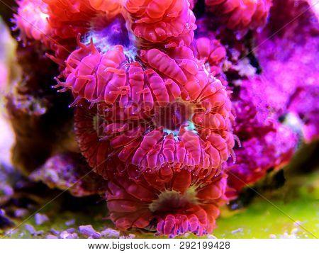 Pink Blastomussa Lps Coral, - (blastomussa Merletti)