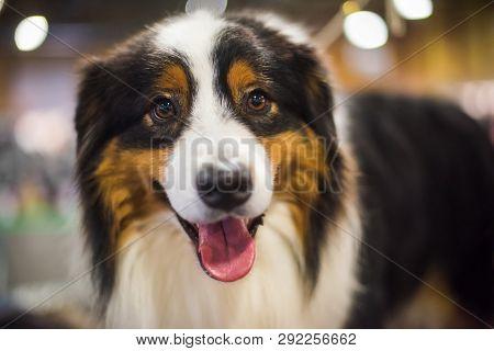 Close-up Smiling Portrait Of An Entlebucher Sennenhund