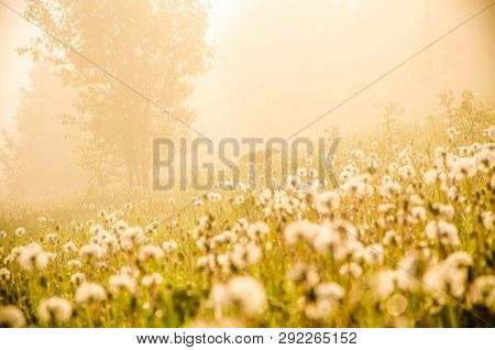 Early Morning. Forest Hiding In The Fog. Dandelion.