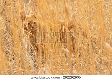 Ginger tabby cat perfectly camouflaged in a field of tall dry prairie grass in very early spring