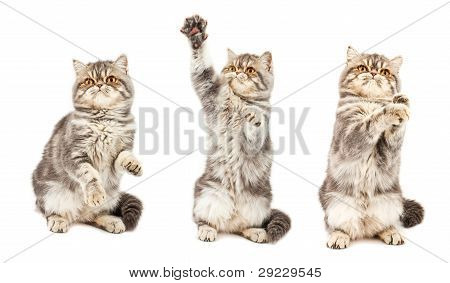 Kitten in different poses. Exotic short-haired kitten. Color blue tabby spotty poster