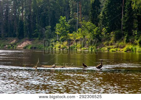 Ducks Swimming In The River Gauja. Ducks On The Wooden Log In The Middle Of The River Gauja In Latvi