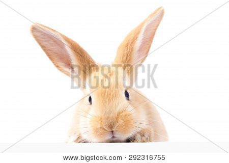 Red Fluffy Rabbit Looks At The Sign. Isolated On White Background. Easter Bunny. Red Rabbit For Adve