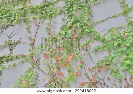 The Common Ivy Climbing Rustic Looking Wall.