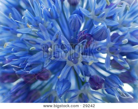 Zwiebel-Blume