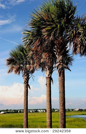 Palmetto Trees in Perspective