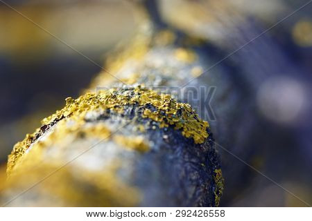 Such A Beautiful Yellow Lichen Growing On The Bark Of A Tree, Reflecting The Beauty Of The Macrocosm
