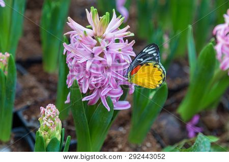 Hyacinth Flower And Butterfly In Garden