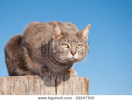 Blue tabby cat resting on top of a log against clear blue sky poster
