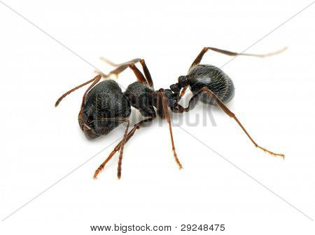 black ant isolated on  white background