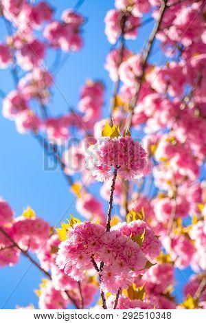 Japanese Cherry. Prunus Serrulata. Sakura Festival. Background With Flowers On A Spring Day. Cherry