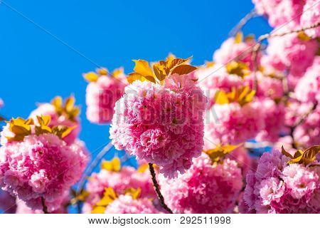 Cherry Blossom. Sacura Cherry-tree. Blooming Sakura Blossoms Flowers Close Up With Blue Sky On Natur
