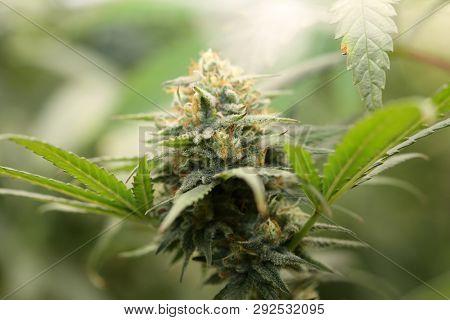 Marijuana. Extreme Close Up. Macro Shot of Growing Marijuana and Cannabis female flowers. Indoor Grow Room of a Marijuana Farm. Cannabis Sativa. Cannabis Indica.