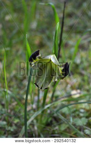 Close-up Of A Beautiful Snake's-head, Widow Iris, Iris Tuberosa, Nature, Macro