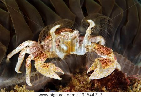 Spotted Porcelain Crab (neopetrolisthes Maculatus) In An Anemone. Tofo, Mozambique