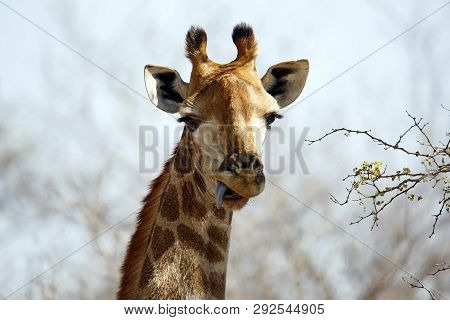 Close-up Of A South African Giraffe (giraffa Camelopardalis Giraffa), With Its Tongue Out. Modlito G