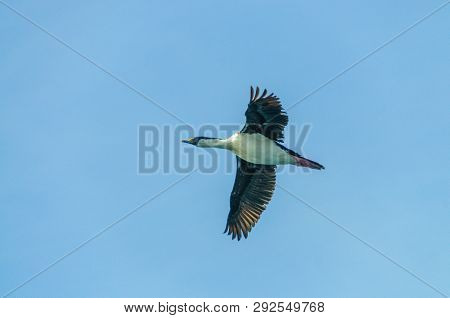 An Antarctic Shag -leucocarbo Bransfieldensis- Passing In Low Flight Near The Shag Rocks In The Sout