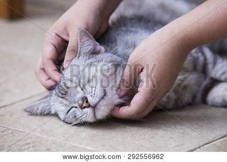 American Shorthair Cat,hand Holding American Shorthair Cat,cute American Short-haired Cat Sleeps
