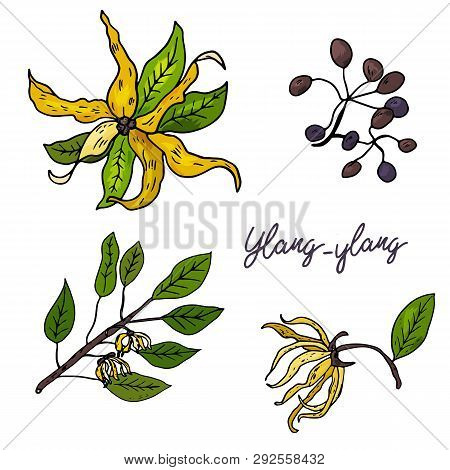 Ylang-ylang. Set Of Hand Drawn Objects Isolated On White Background. Black Outline And Color Stains
