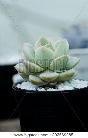 Close Up Image Of Echeveria Elegans Cactus