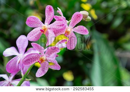 Mokara Orchid Flower In Garden At Sunny Summer Or Spring Day. Flower For Postcard Beauty Decoration