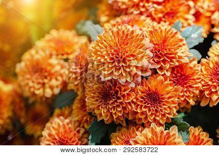 Orange Flower In Garden At Sunny Summer Or Spring Day. Flower For Postcard Beauty Decoration And Agr