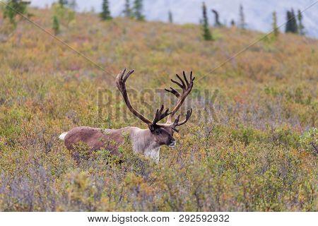 Barren Ground Caribou In Velvet In Early Fall In Alaska