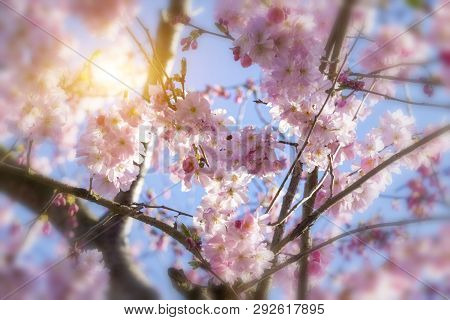 Cherry Blossoms Over Blue Sky Background In Germany