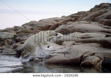 Polar Bear Coming From The Sea