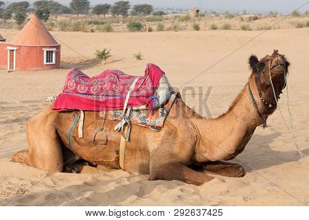 Dromedary Camel Waiting For Tourist In Tahr Desert, India. Tourism Is An Important Item In The Econo