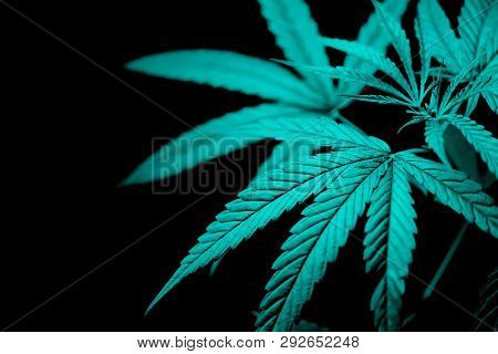Marijuana Leaves Cannabis Plant Tree On Dark Background / Close Up Green Hemp Leaf For Extract Medic
