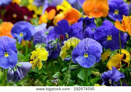 Multicolor Pansy Flowers Or Pansies Close Up As Background Or Card