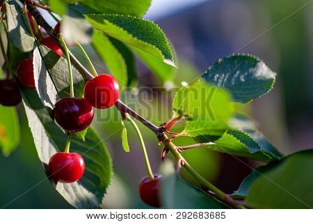 Ripe Cherry Fruit Brightly Red Color On The Branches Of Ashinskaya Prunus Subg. Cerasus. Barbados Ch