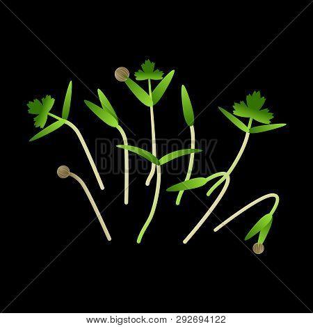 Microgreens Cilantro. Bunch Of Plants. Vitamin Supplement, Vegan Food. Black Background