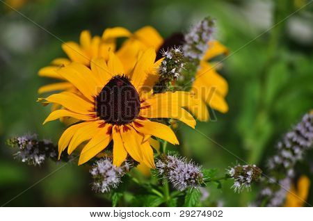 Black-eyed Susan and Mint