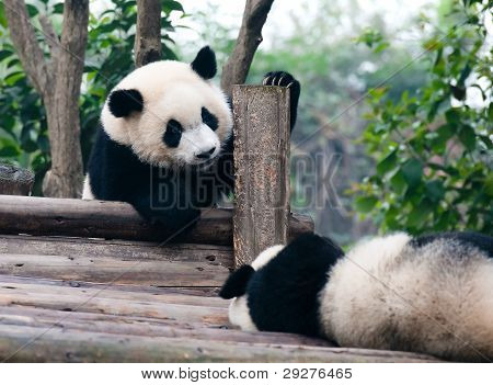 Two playing giant panda bears