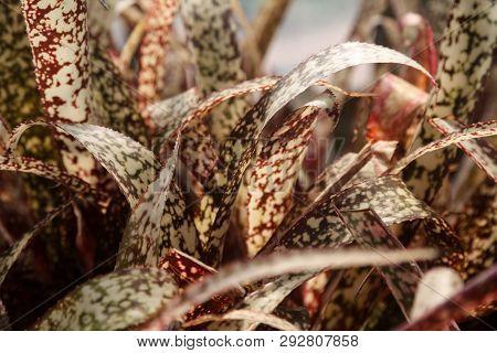 Plant Bromeliad Billbergia Groovy Spotted Foliage Closeup