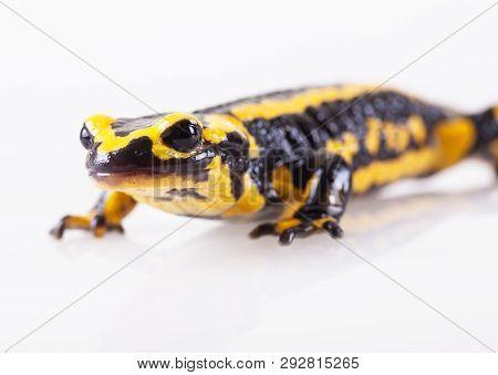 The Fire Salamander (salamandra Salamandra) Is A European Amphibian From The Family Of The Real Sala