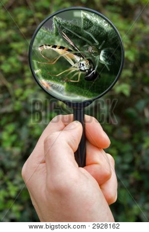 Spider Catching Hover Fly In Its Web