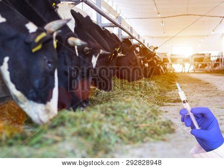 Doctor Holding A Syringe Against The Background Of Cows In The Barn Concept Of Growth Hormone And An