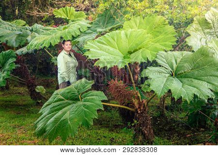 Woman is stanging under leaves of Gunnera manicata or Brazilian giant rhubarb