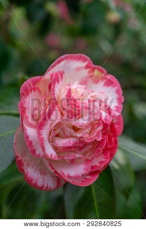 Kamelie Margaret Davis(camellia Japonica) Im Frühling 2 - 1.4.2019